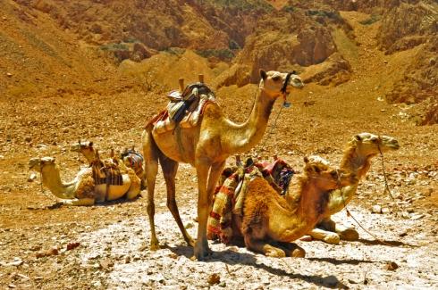 CamelsinDesertnearDiving