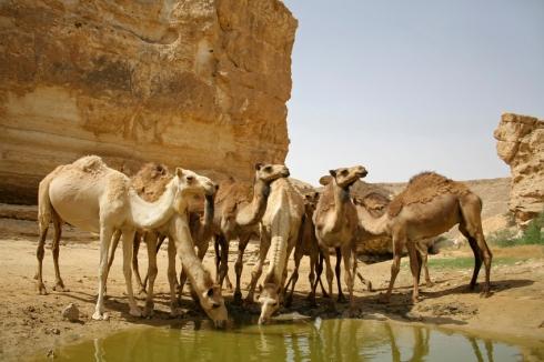 Camels in Sede Boker Desert